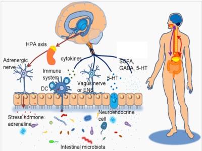 Neuroenteric axis